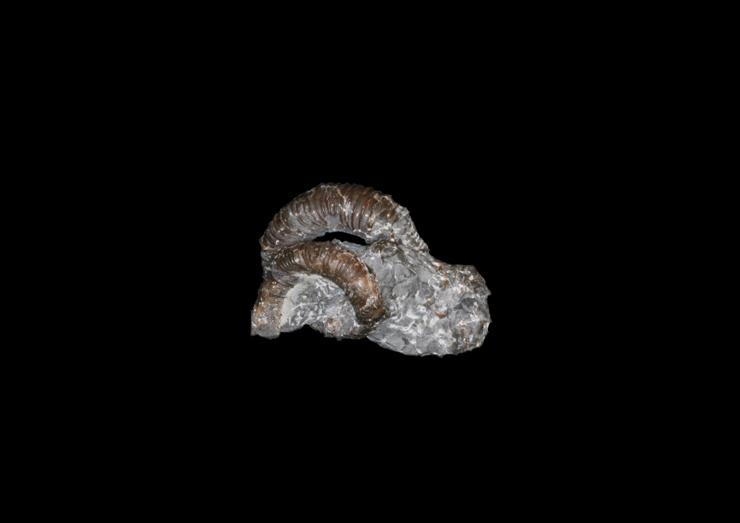 異常巻きアンモナイト化石